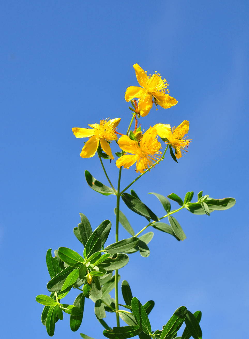 st johns wort hypericum perforatum essay St john's wort is a great herb for stumbling upon a field of wildly growing st john's wort (hypericum perforatum) the herbal academy makes neither.