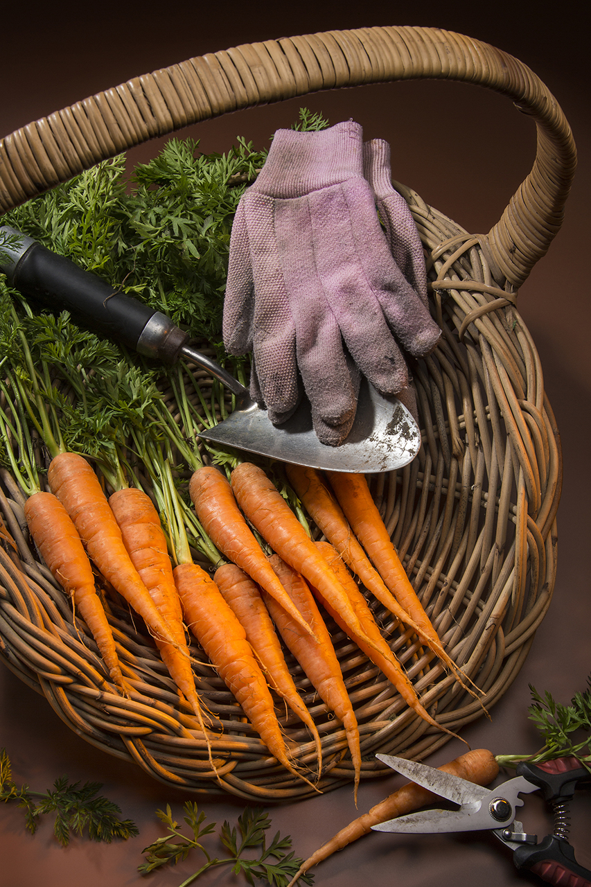 Organically grown carrots collected from a garden vegetable patch.