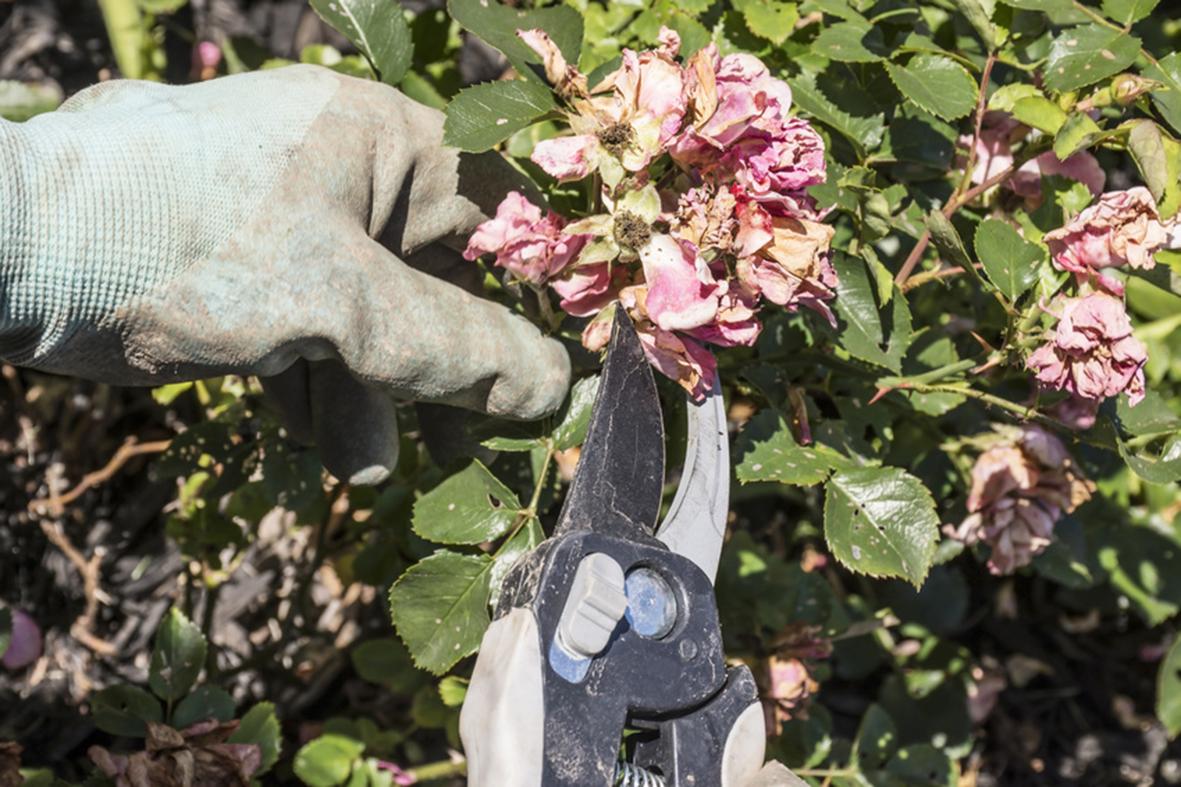 A gardener pruning or deadheading drift roses.