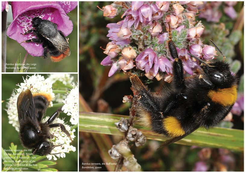 MARCH2015Bumblebeespic1